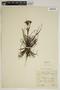 Drosophyllum lusitanicum (L.) Link, Morocco, C. S. Garnett 8