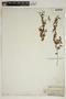 Acalypha phleoides image