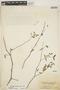 Euphorbia articulata Aubl., BRITISH VIRGIN ISLANDS, W. C. Fishlock 263, F