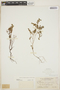 Euphorbia blodgettii Engelm. ex Hitchc., BAHAMAS, N. L. Britton 2755, F