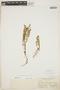 Euphorbia blodgettii Engelm. ex Hitchc., BAHAMAS, N. L. Britton 195, F