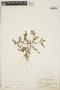 Euphorbia blodgettii Engelm. ex Hitchc., BAHAMAS, L. J. K. Brace 4034, F