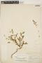 Euphorbia blodgettii Engelm. ex Hitchc., BAHAMAS, J. I. Northrop 379, F