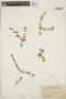 Euphorbia blodgettii Engelm. ex Hitchc., BAHAMAS, J. K. Small 8793, F