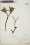 Euphorbia gymnonota Urb., BAHAMAS, N. L. Britton 6071, F