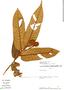 Virola loretensis, Peru, J. Revilla 3680, F