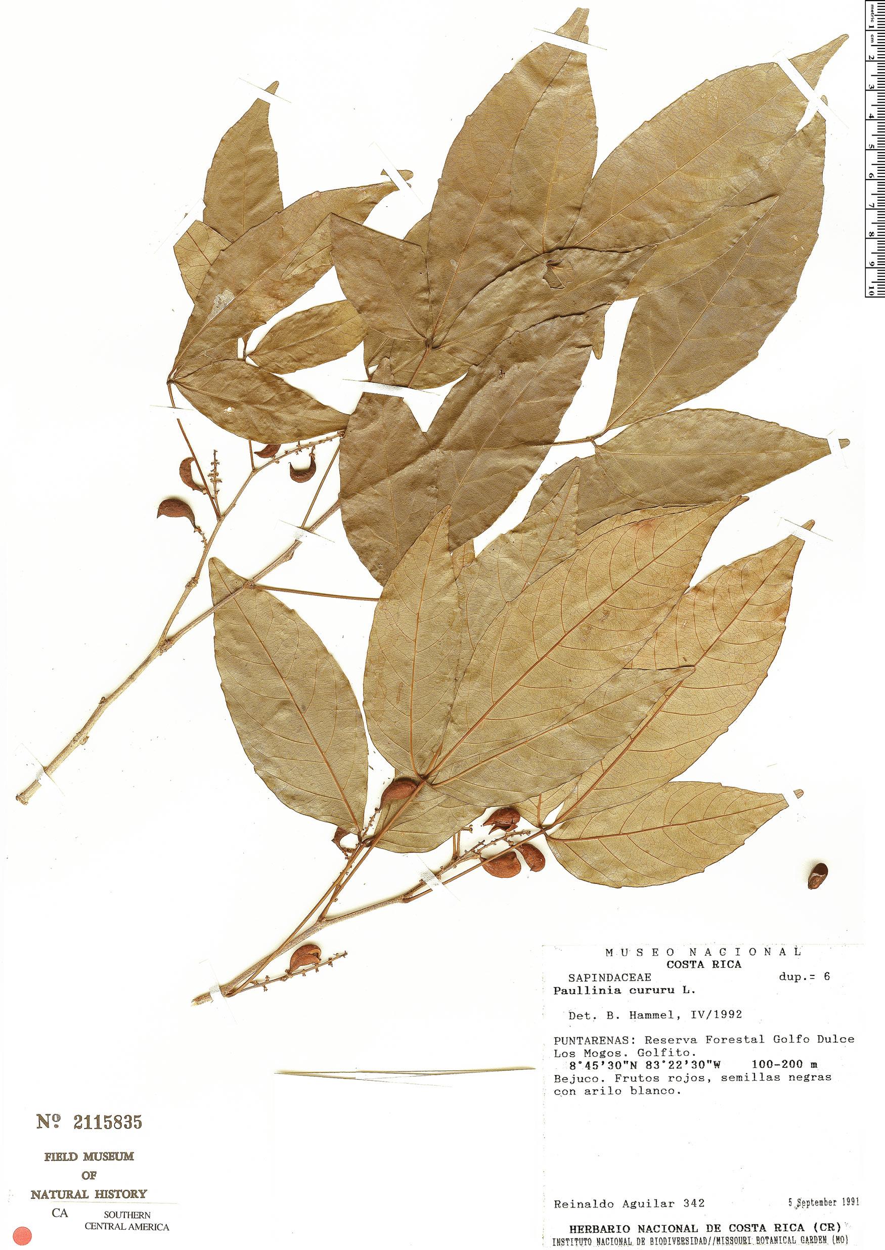 Specimen: Paullinia cururu