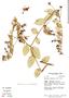 Burmeistera crassifolia image