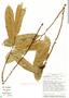 Annona pittieri Donn. Sm., Costa Rica, G. Herrera 4043, F