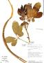 Godmania aesculifolia (Kunth) Standl., Costa Rica, W. C. Burger 10649, F