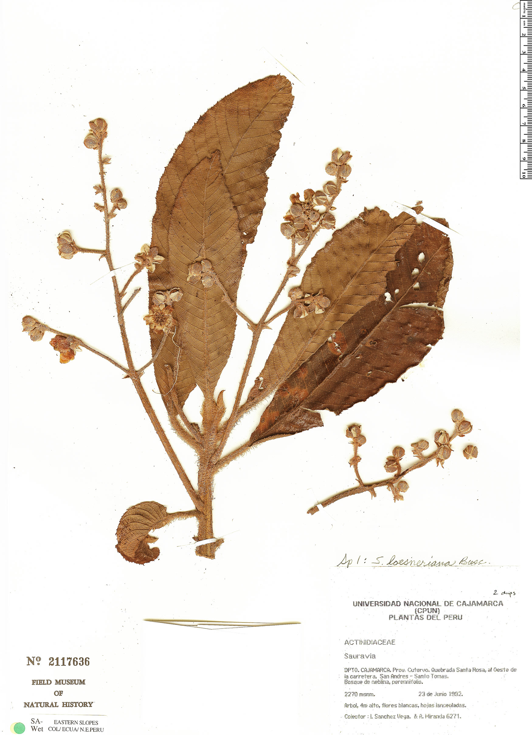 Specimen: Saurauia loeseneriana