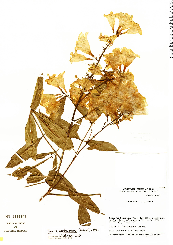 Specimen: Tecoma weberbaueriana