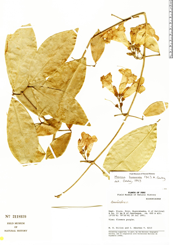 Specimen: Mansoa hymenaea