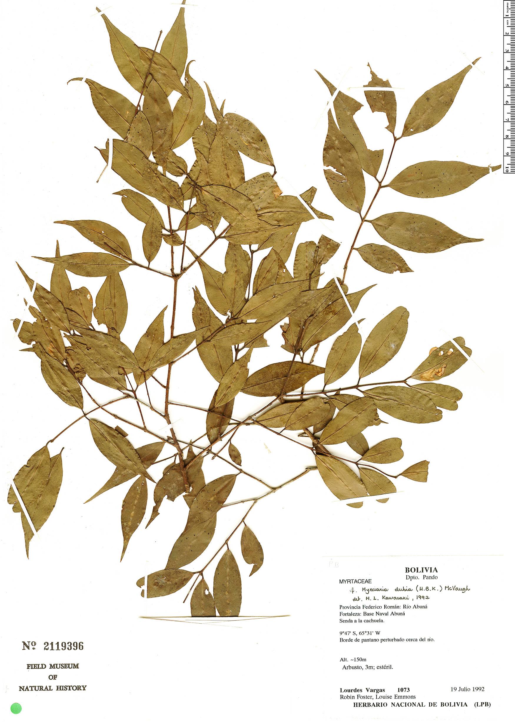 Espécime: Myrciaria dubia