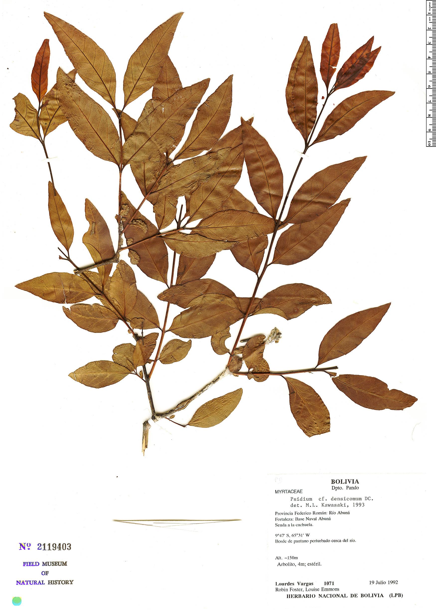 Espécimen: Psidium densicomum