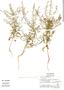 Lepidium virginicum L., Mexico, E. Ventura 8362, F