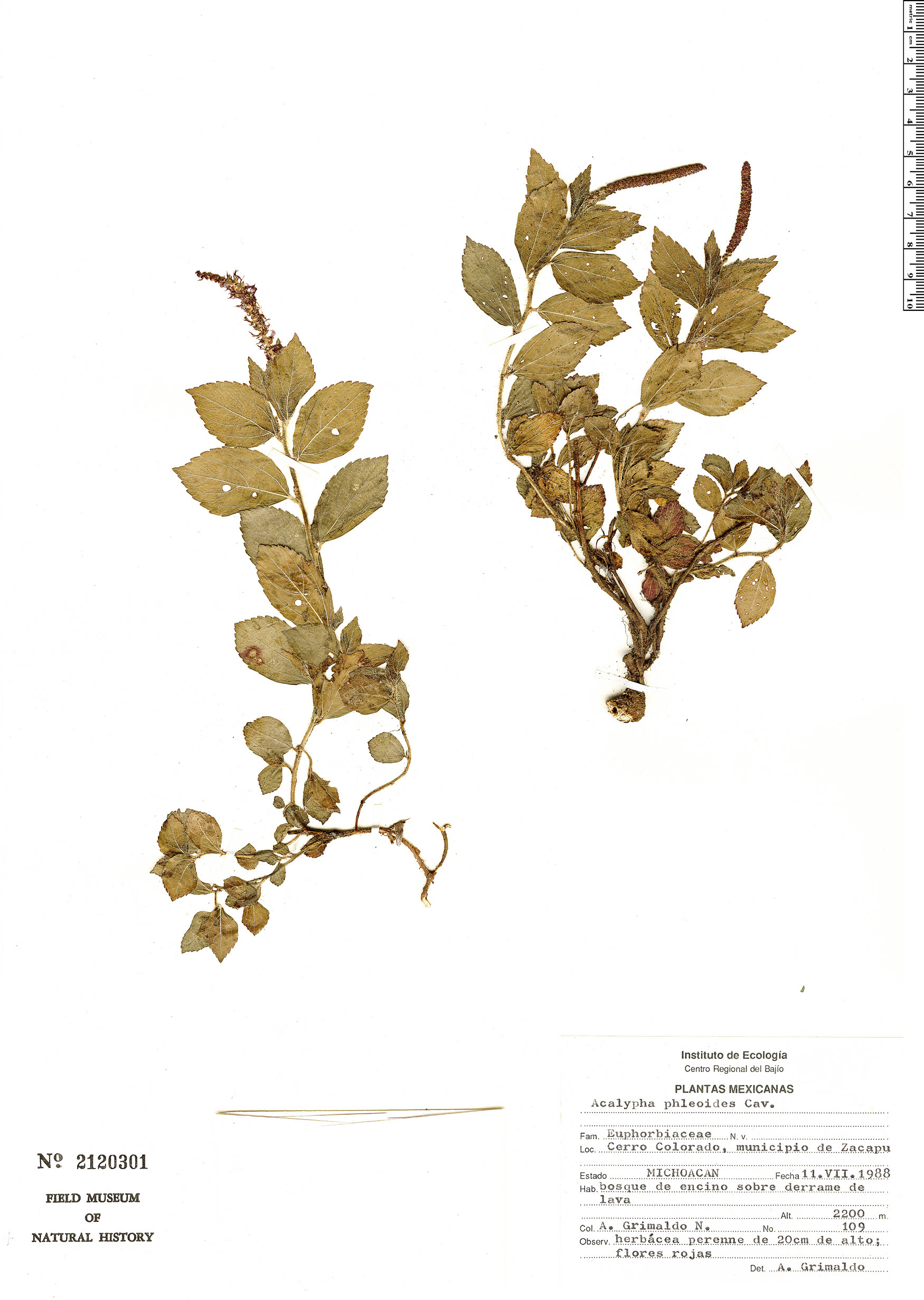 Specimen: Acalypha phleoides