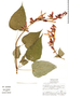 Salvia gesneriflora Lindl. & Pax, Mexico, S. Zamudio R. 6029, F
