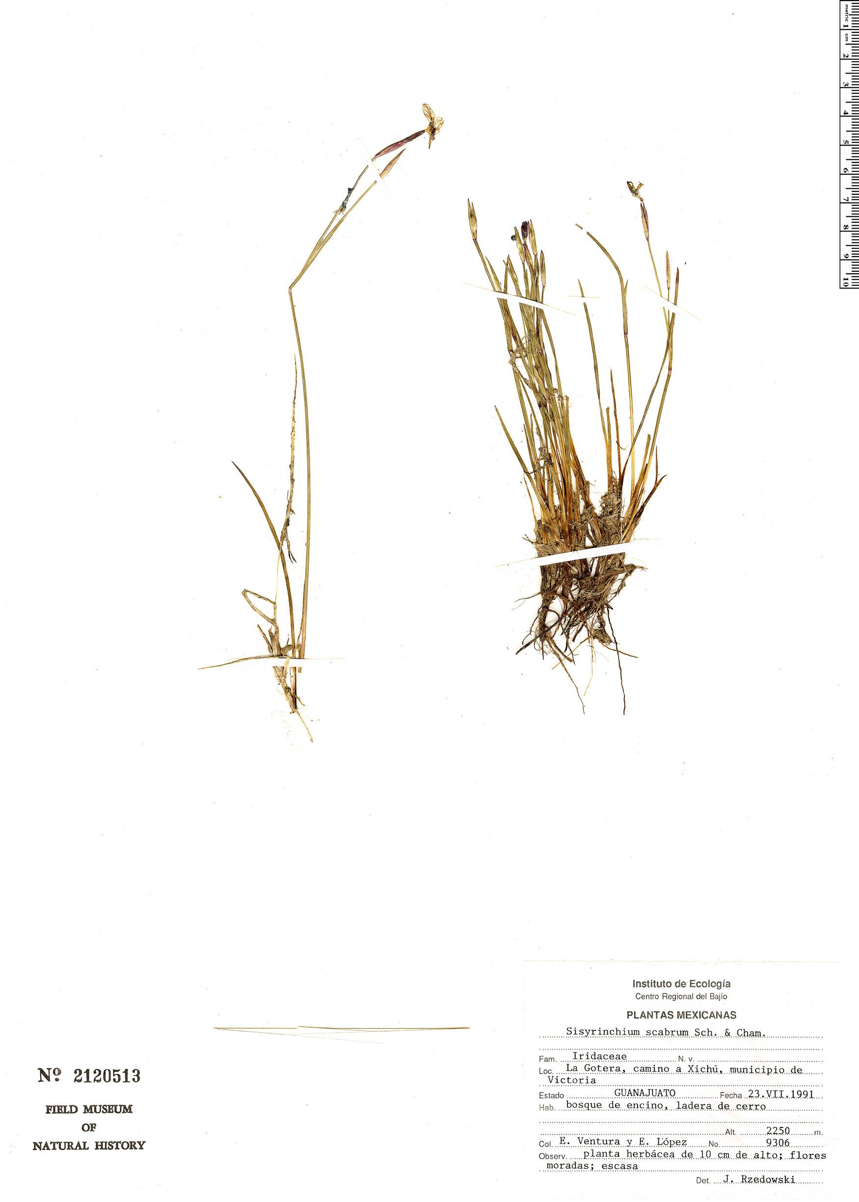 Sisyrinchium scabrum image