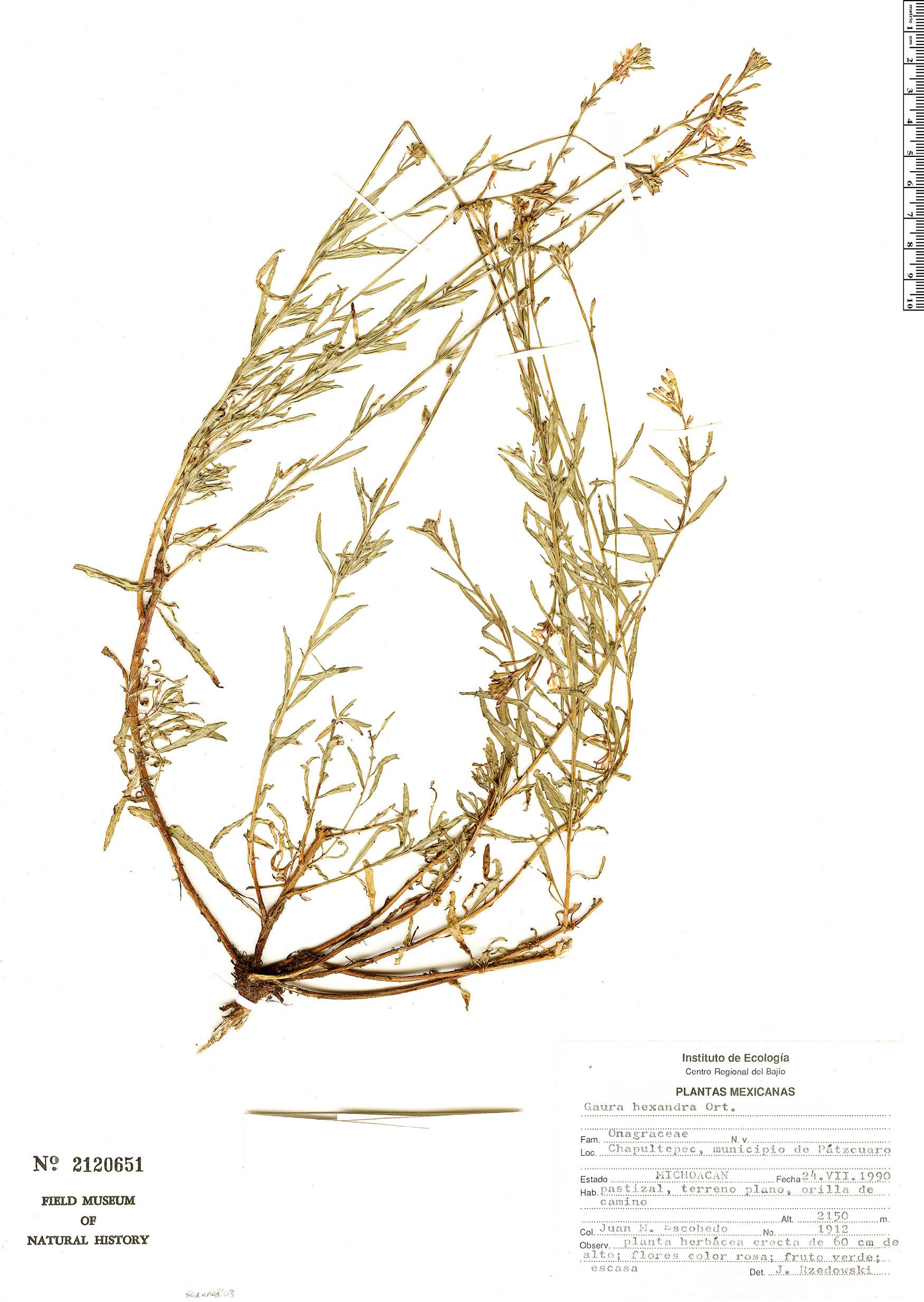 Oenothera hexandra image
