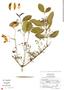 Pristimera celastroides (Kunth) A. C. Sm., Mexico, E. Carranza 2368, F
