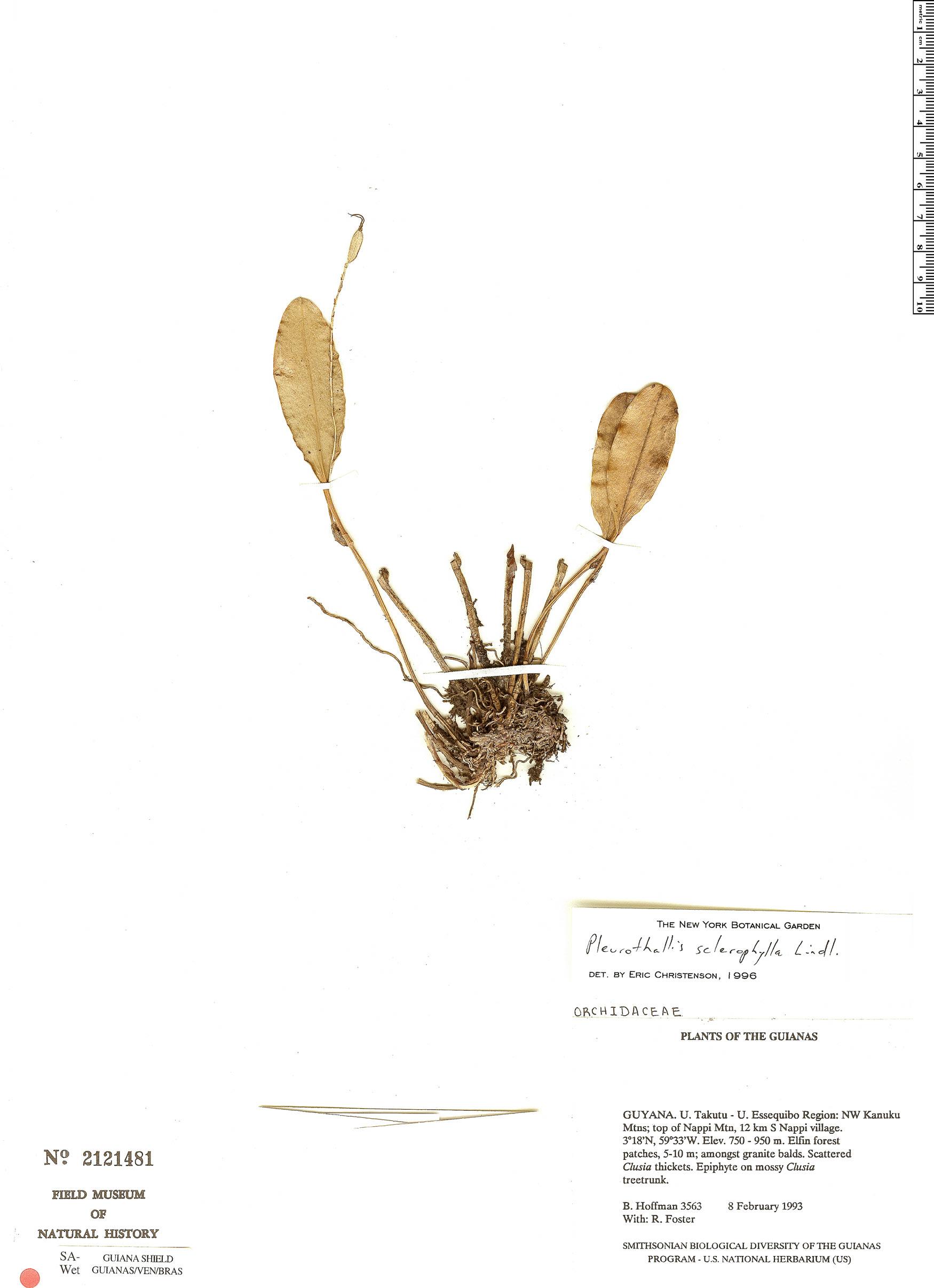 Specimen: Pleurothallis sclerophylla