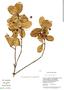 Myrcia prunifolia DC., Guyana, B. Hoffman 3542, F
