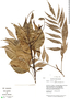 Roupala montana Aubl., Guyana, B. Hoffman 3575, F
