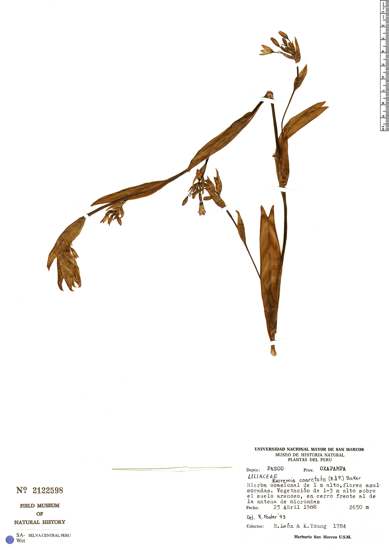 Specimen: Eccremis coarctata