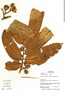 Virola koschnyi Warb., Panama, R. B. Foster 14549, F