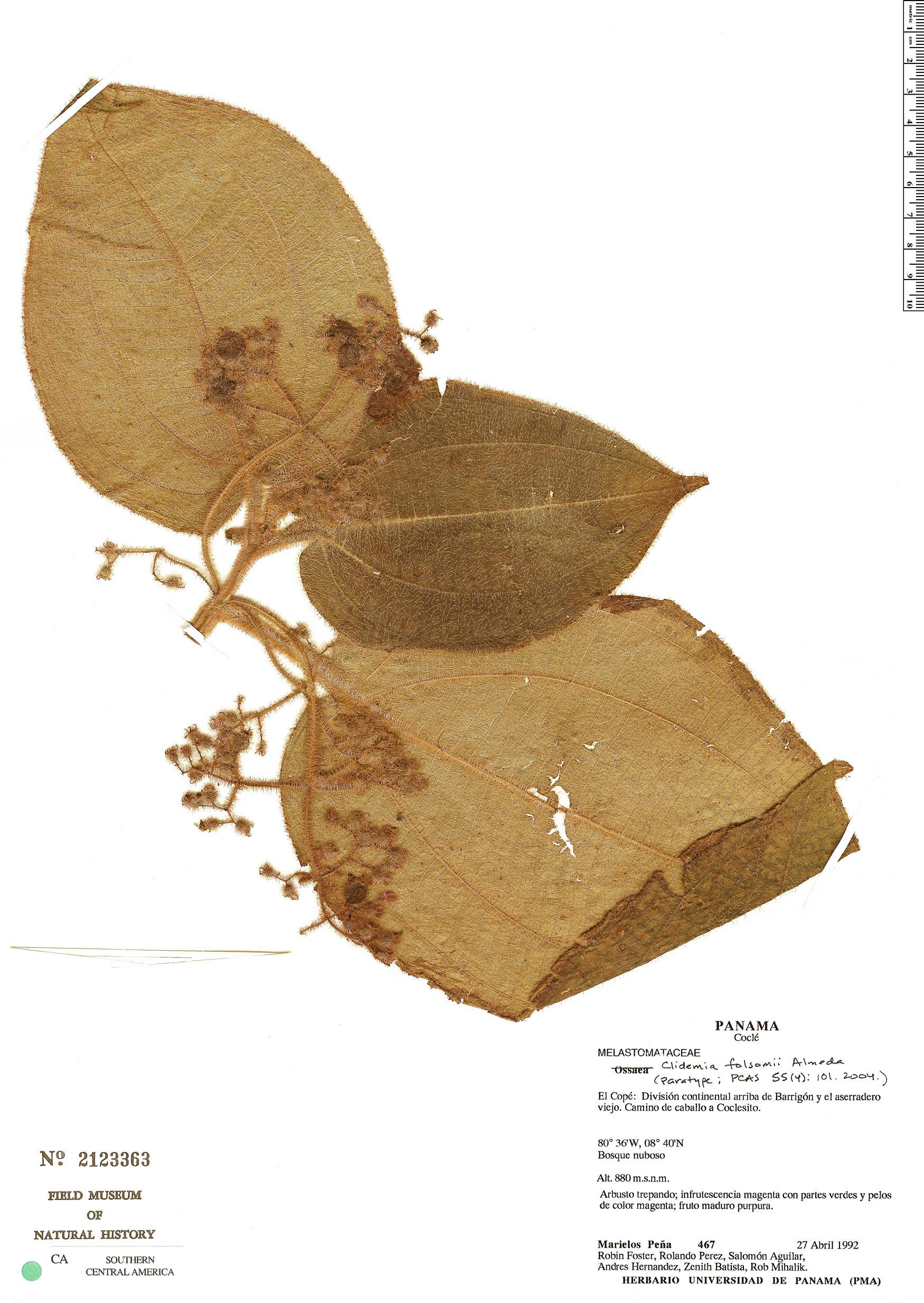 Espécime: Clidemia folsomii