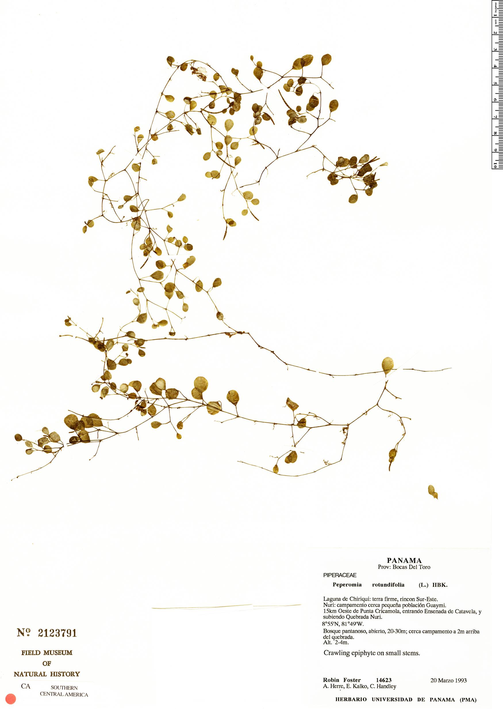 Specimen: Peperomia rotundifolia