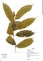 Pseudolmedia laevis, Peru, H. Beltrán 467, F