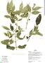 Faramea quinqueflora Poepp. & Endl., Peru, H. Beltrán 701, F