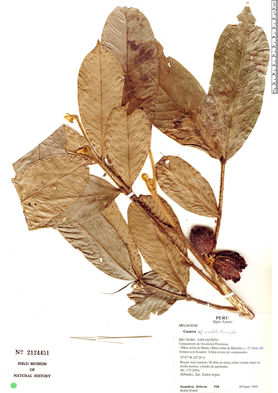 Espécime: Guarea cristata