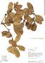Ilex yurumanguinis Cuatrec., Panama, G. D. McPherson 15379, F
