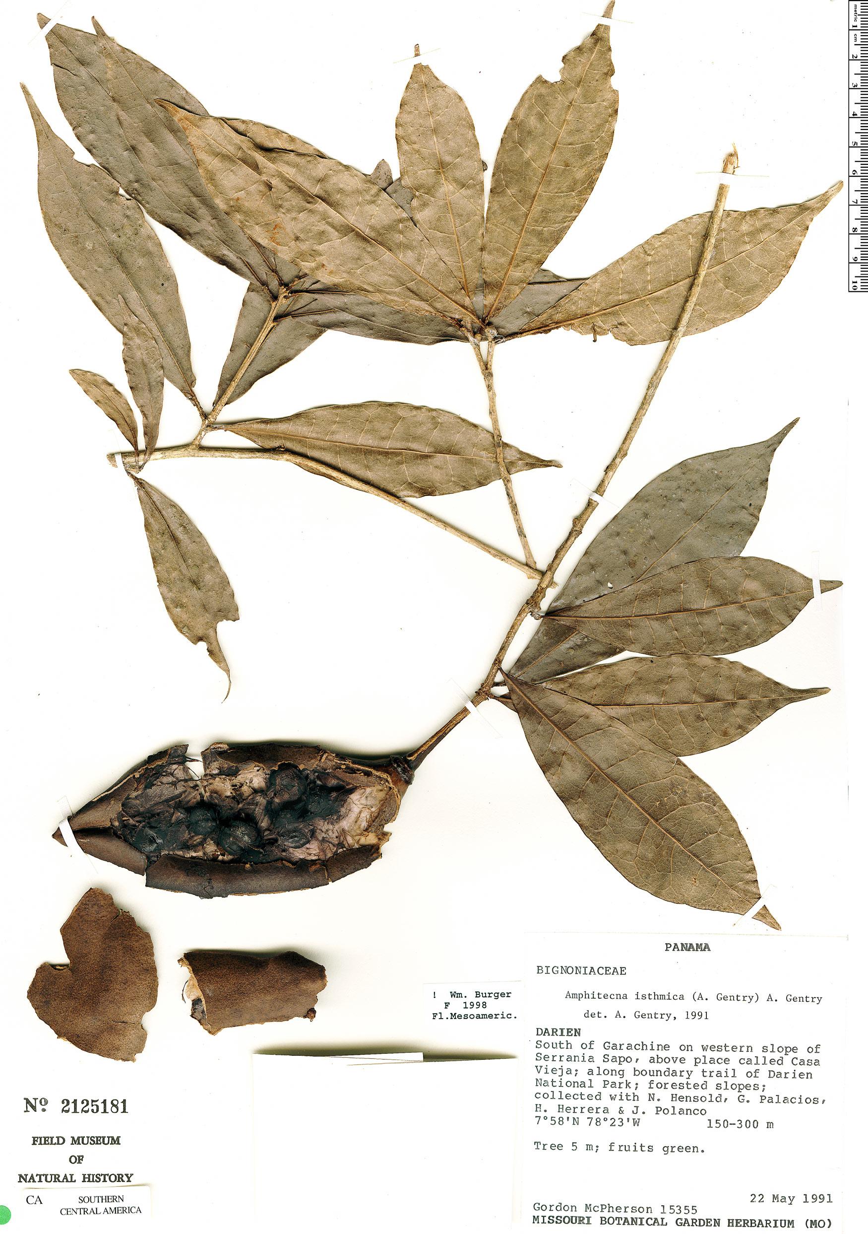 Specimen: Amphitecna isthmica
