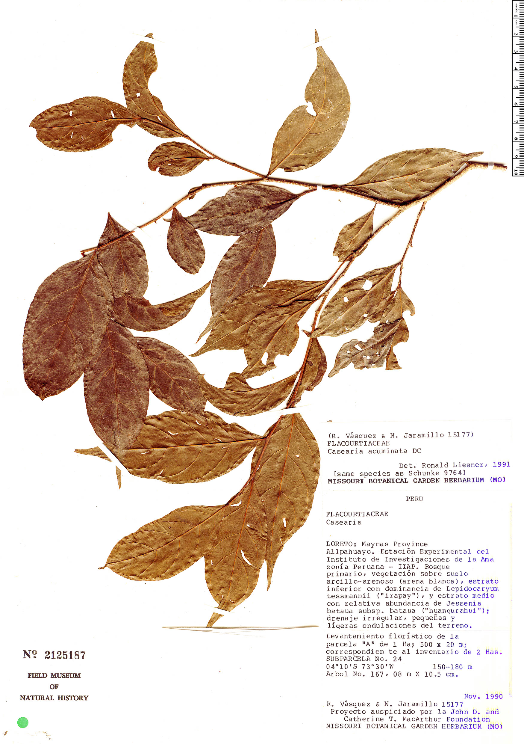 Espécime: Casearia acuminata