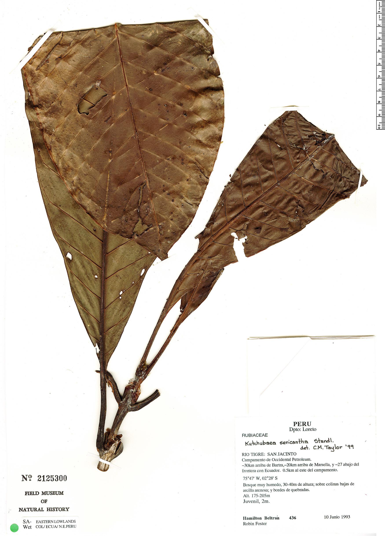 Specimen: Kutchubaea sericantha