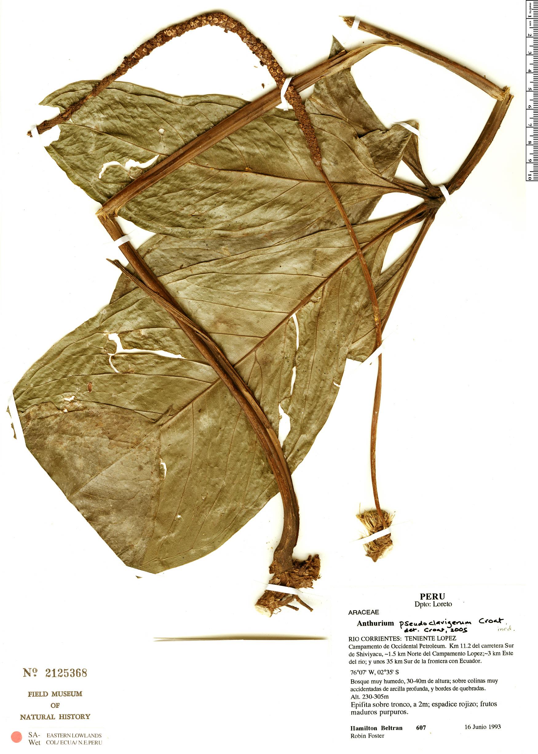 Specimen: Anthurium pseudoclavigerum