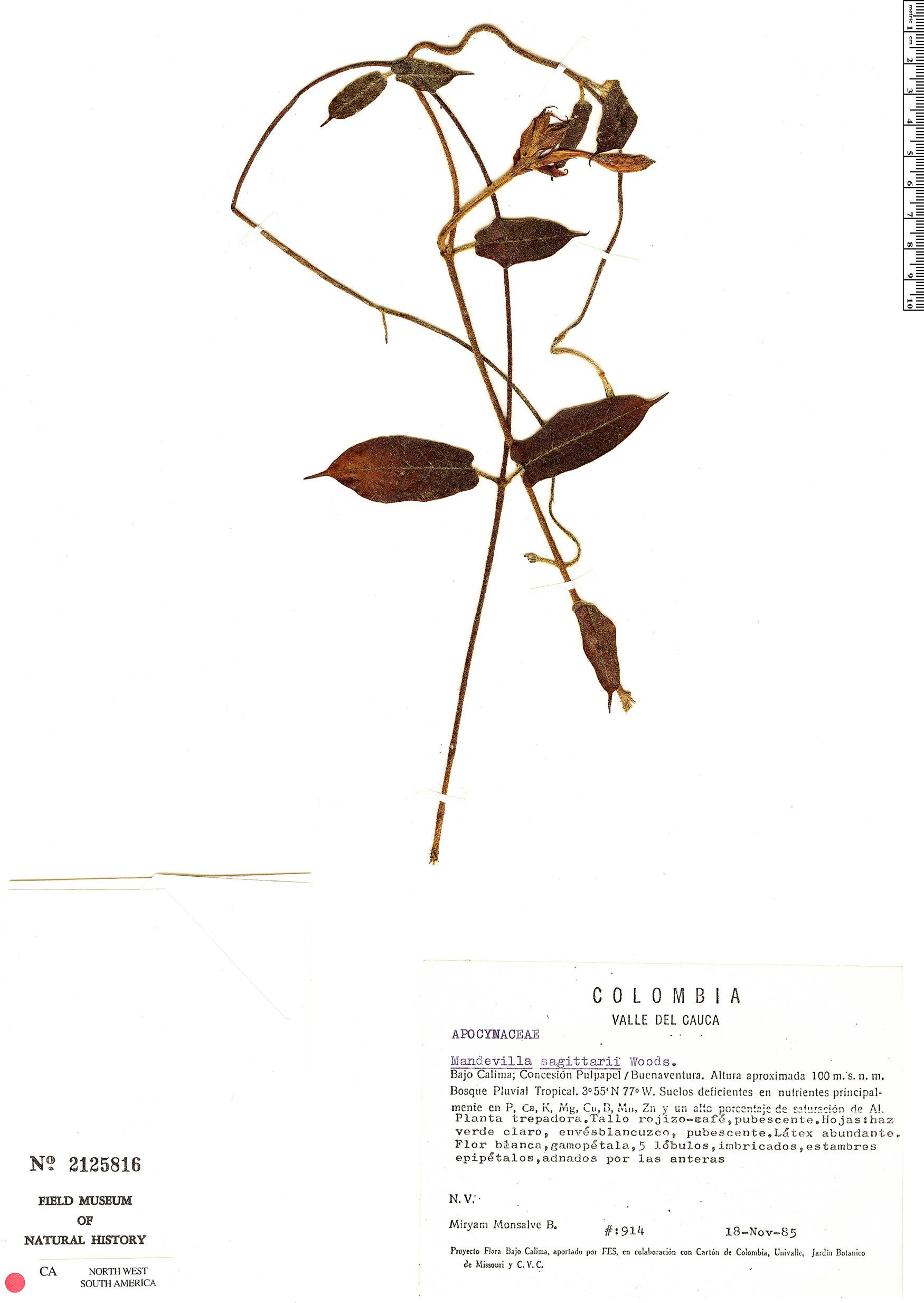 Specimen: Mandevilla sagittarii