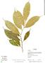 Naucleopsis straminea, Panama, R. B. Foster 14254, F