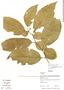 Image of Solanum arboreum