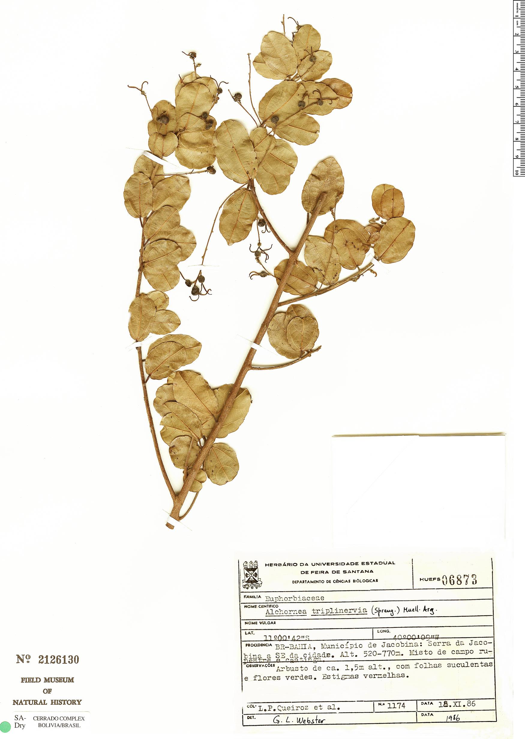Specimen: Alchornea triplinervia