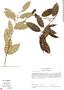 Cheiloclinium hippocrateoides image