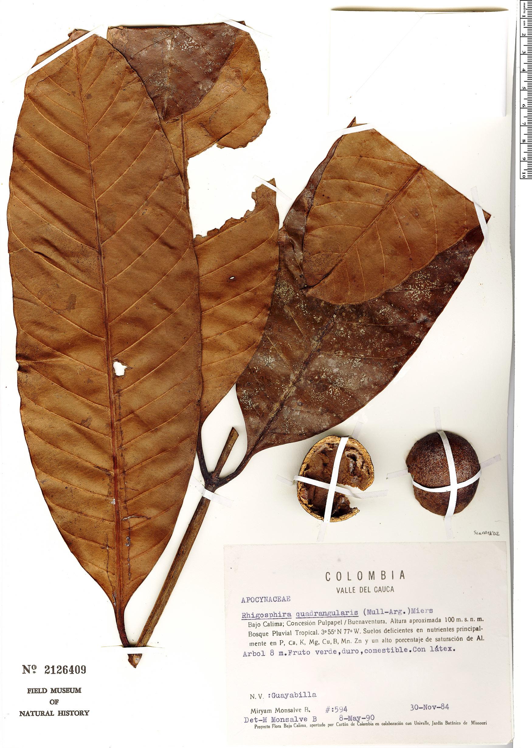 Espécime: Rhigospira quadrangularis