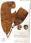 Rhigospira quadrangularis (Müll. Arg.) Miers, Colombia, M. Monsalve Benavides 594, F