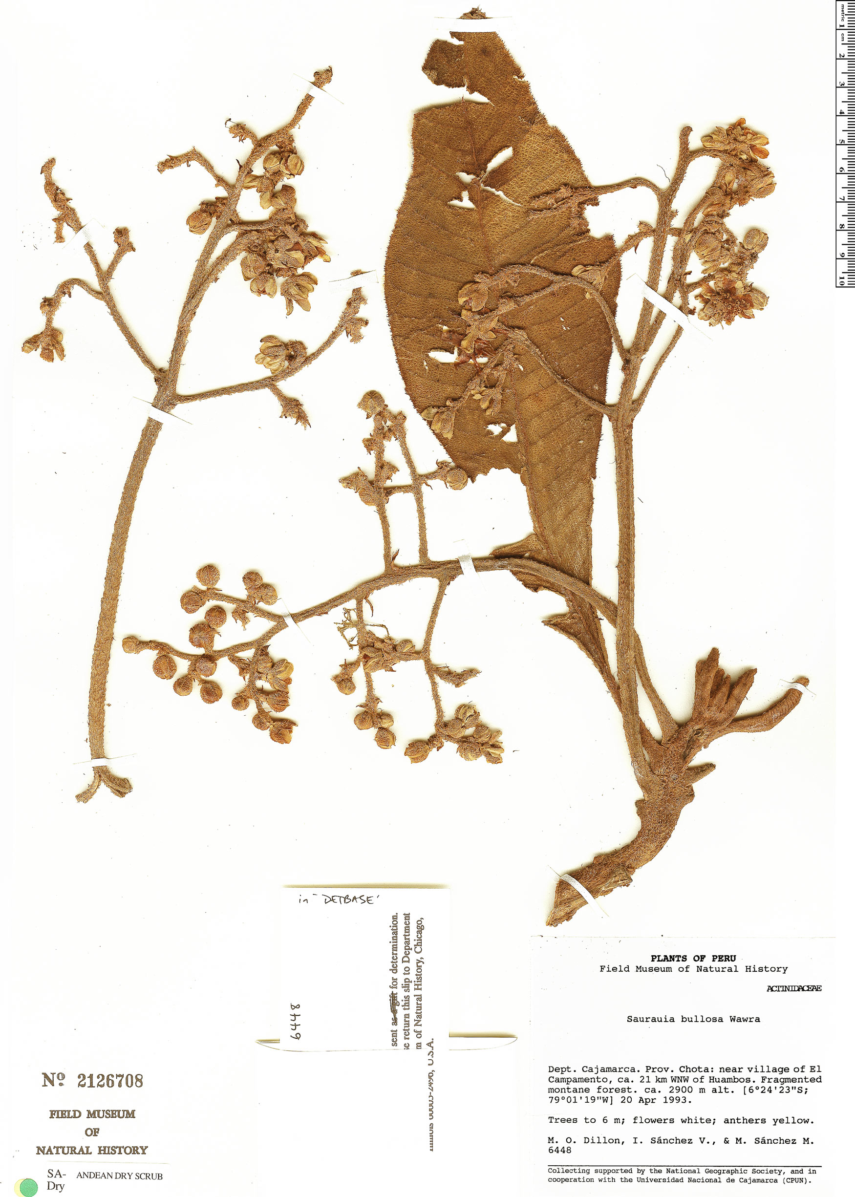 Specimen: Saurauia bullosa