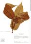 Virola mollissima (DC.) Warb., Colombia, M. Monsalve Benavides 475, F