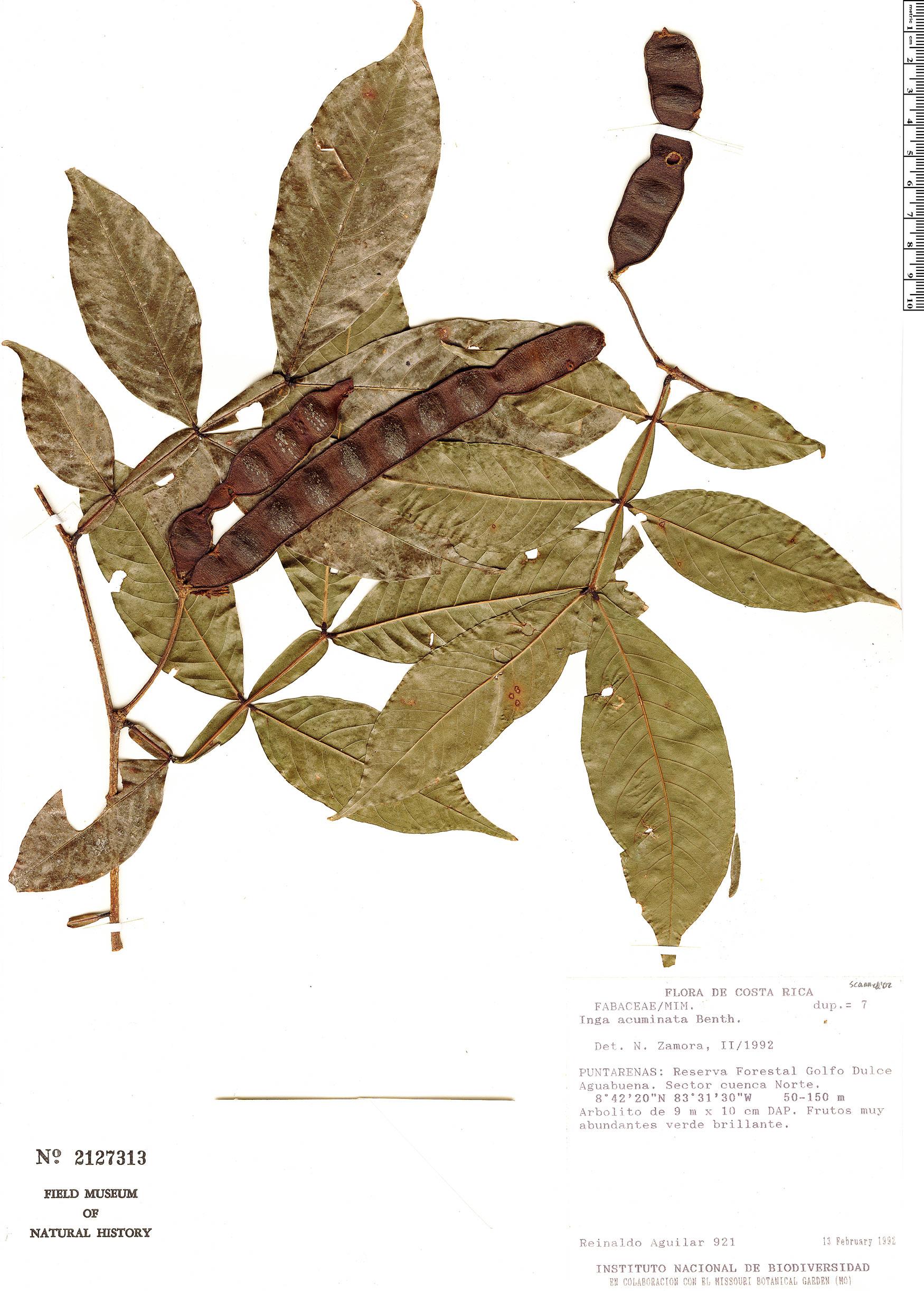 Espécimen: Inga acuminata